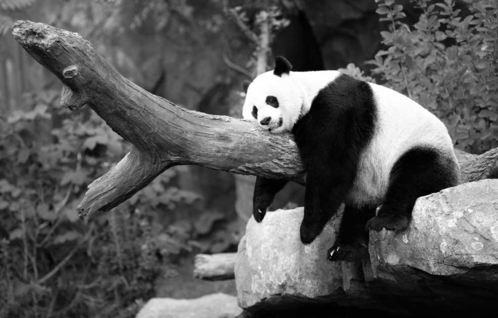 panda-resting-wide-wallpaper-49422-51091-hd-wallpapers